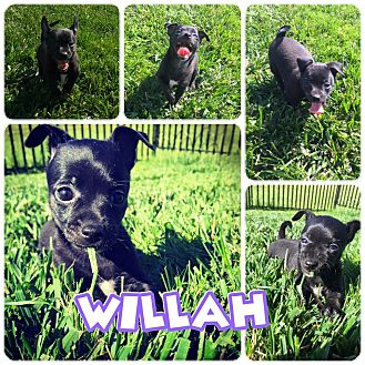 Miniature Pinscher Mix Puppy for adoption in ST LOUIS, Missouri - Willah