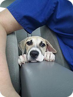 Anatolian Shepherd Mix Puppy for adoption in Brunswick, Maine - Maybel