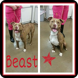 Pit Bull Terrier Mix Dog for adoption in Steger, Illinois - Beast