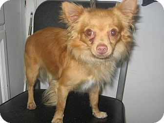 Chihuahua Dog for adoption in Kankakee, Illinois - Tiny