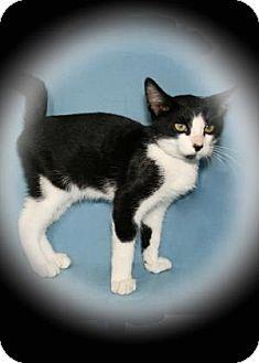 Domestic Shorthair Kitten for adoption in Bradenton, Florida - Hiccup