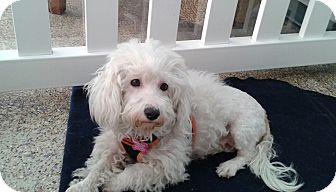 Maltese Mix Dog for adoption in Thousand Oaks, California - Tabatha