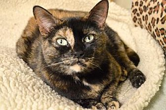 Domestic Mediumhair Cat for adoption in Queens, New York - Vibeke