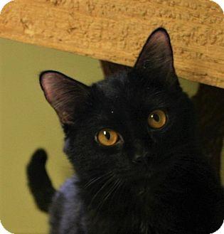 Domestic Shorthair Cat for adoption in Hastings, Nebraska - Cole