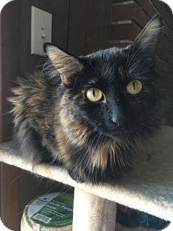 Domestic Mediumhair Cat for adoption in St. Louis, Missouri - Caroline