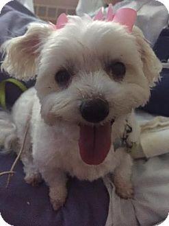 Maltese Mix Dog for adoption in Hazel Park, Michigan - Rosie