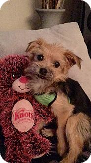 Yorkie, Yorkshire Terrier Mix Puppy for adoption in Poway, California - COPERNICUS