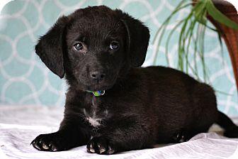 Beagle/Labrador Retriever Mix Puppy for adoption in Bedminster, New Jersey - Ashling