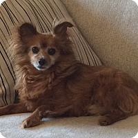 Pomeranian/Chihuahua Mix Dog for adoption in San Francisco, California - MILO