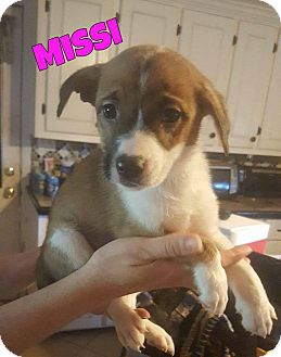 Siberian Husky Mix Puppy for adoption in WESTMINSTER, Maryland - Missi