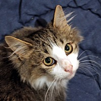 Adopt A Pet :: Hudson - Troy, MI