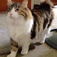 Manx Cat for adoption in Davis, California - Poppi