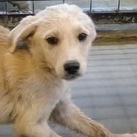 Labrador Retriever Mix Dog for adoption in Waxahachie, Texas - Dre
