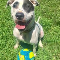 Adopt A Pet :: Sugar - Chestertown, MD