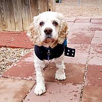 Adopt A Pet :: Buddy S 17-13033-2 - Parker, CO