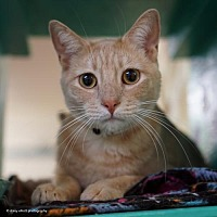Adopt A Pet :: Phillipe - Tucson, AZ