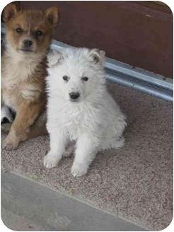 Australian Shepherd/Shepherd (Unknown Type) Mix Puppy for adoption in Broomfield, Colorado - Prince