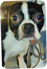 Boston Terrier Dog for adoption in Old Bridge, New Jersey - Piper