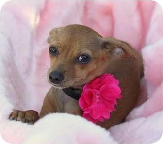 Chihuahua Mix Dog for adoption in Newport Beach, California - LULU