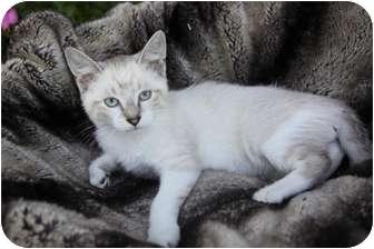 Siamese Kitten for adoption in Newport Beach, California - BENTLEY