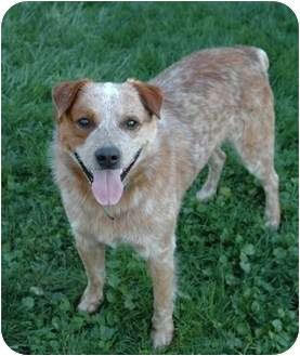 Australian Cattle Dog/Australian Shepherd Mix Dog for adoption in Tracy, California - Jake