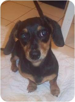 Dachshund Mix Puppy for adoption in Cumming, Georgia - Catie