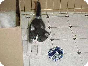 Domestic Shorthair Kitten for adoption in Newark, Delaware - Dora