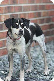 Beagle/Terrier (Unknown Type, Medium) Mix Dog for adoption in Greensboro, North Carolina - Carl