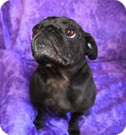 Pug Mix Dog for adoption in Philadelphia, Pennsylvania - Tootsie