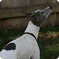 Adopt A Pet :: Rogin in Oklahoma - Argyle, TX