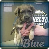 Adopt A Pet :: BLUE - Southport, NC