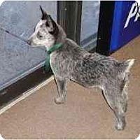 Adopt A Pet :: Faith - Phoenix, AZ