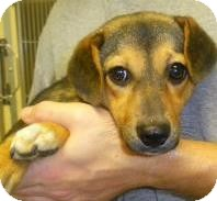 Hound (Unknown Type)/Dachshund Mix Puppy for adoption in Lincolnton, North Carolina - Baby Girl