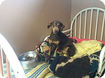 Miniature Pinscher Mix Dog for adoption in Transfer, Pennsylvania - Little Man--Foster Needed!