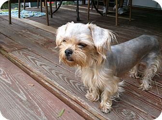 Shih Tzu/Yorkie, Yorkshire Terrier Mix Dog for adoption in West Deptford, New Jersey - Mia
