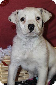 Australian Shepherd Mix Puppy for adoption in Waldorf, Maryland - Heinz