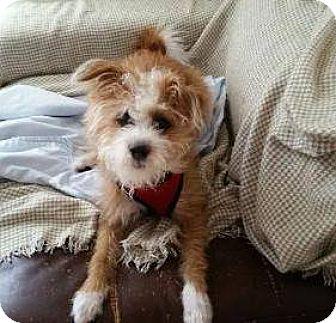 Podengo Portugueso/Terrier (Unknown Type, Small) Mix Dog for adoption in Sherman Oaks, California - Jackson