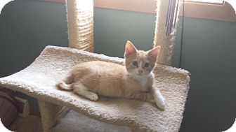 Domestic Shorthair Kitten for adoption in New London, Wisconsin - Big Mac