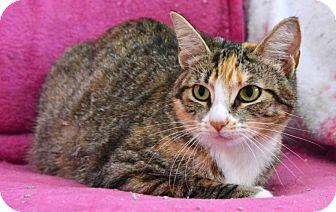 Domestic Shorthair Cat for adoption in Davis, California - Mattie
