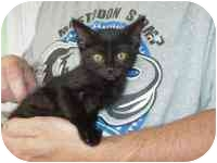 Domestic Shorthair Kitten for adoption in Wauseon, Ohio - Hank