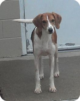 Foxhound/Hound (Unknown Type) Mix Dog for adoption in Lexington, Massachusetts - CJ