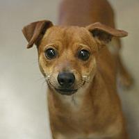 Adopt A Pet :: Andy - Canoga Park, CA