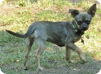 Chihuahua/Dachshund Mix Dog for adoption in Half Moon Bay, California - Bambi
