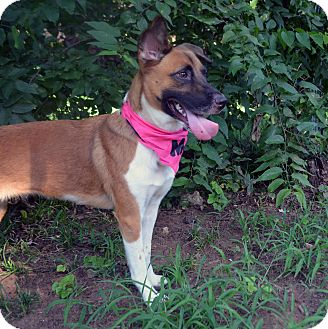Basenji/Shepherd (Unknown Type) Mix Dog for adoption in Fort Worth, Texas - Bernadette
