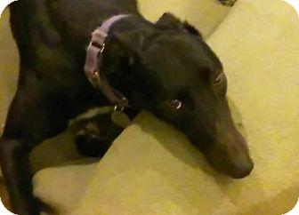 Greyhound Dog for adoption in Aurora, Ohio - Mini