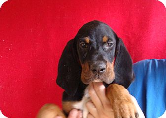 Doberman Pinscher/Black and Tan Coonhound Mix Puppy for adoption in Oviedo, Florida - Micro