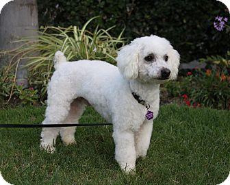 Poodle (Miniature) Mix Dog for adoption in Newport Beach, California - GAVIN
