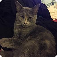 Domestic Shorthair Kitten for adoption in Marietta, Georgia - Elizabeth