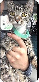 Domestic Shorthair Cat for adoption in Horsham, Pennsylvania - Moriah