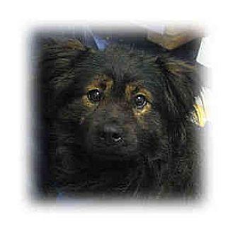 Keeshond/Cocker Spaniel Mix Dog for adoption in Huntley, Illinois - Alf